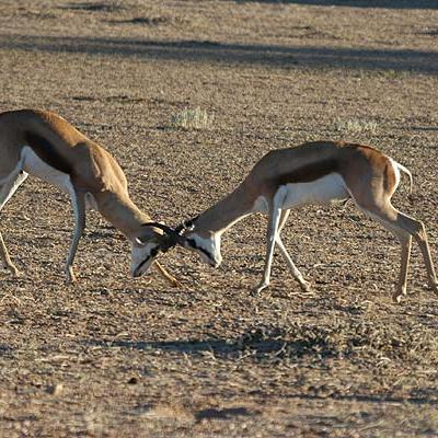 Springbok Fighting